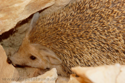 Hemiechinus auritus - Long eared hedgehog - Langohrigel