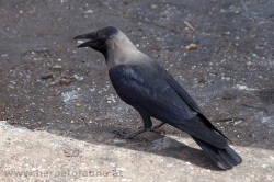 Indian house crows (Corvus splendens) have been introduced from India and now live in Aqaba - die Glanzkrähe (Corvus splendens) wurde aus Indien eingeschleppt und ist nun in Aqaba anzutreffen.