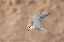 This tern near Azraq probably is a common tern (Sterna hirundo) - diese Seeschwalbe bei Azraq ist vermutlich eine Flussseeschwalbe (Sterna hirundo).