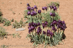 The national flower of Jordan: The black iris - Die Nationalblume Jordaniens: Die schwarze Iris