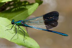 Calopteryx splendens, well known from Austria - Calopteryx splendens kennen wir auch von der Heimat!